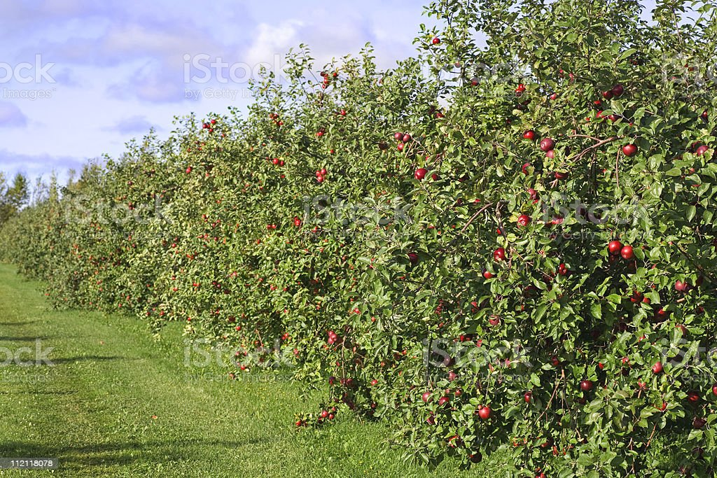 Long row of red apple trees at an orchard stock photo