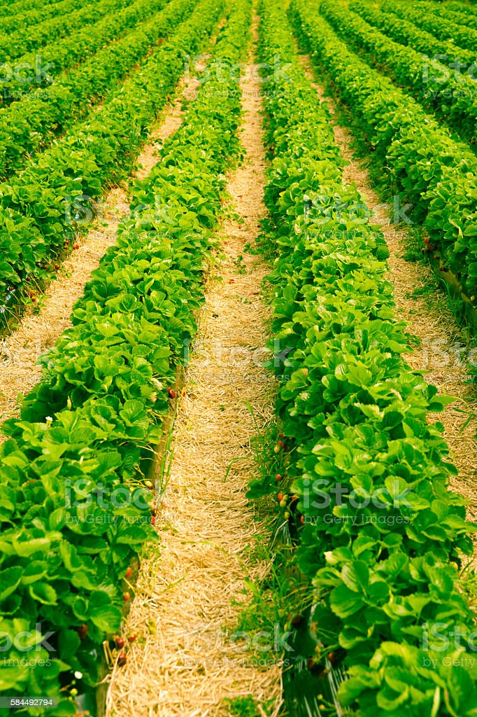 Long rows bright green strawberry plants stock photo