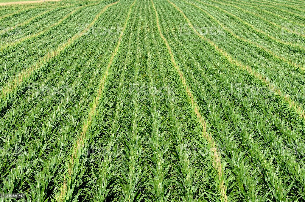 Long rows of corn and green leaves royalty-free stock photo
