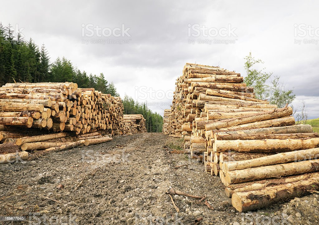 Long Rows of Cut Timber stock photo