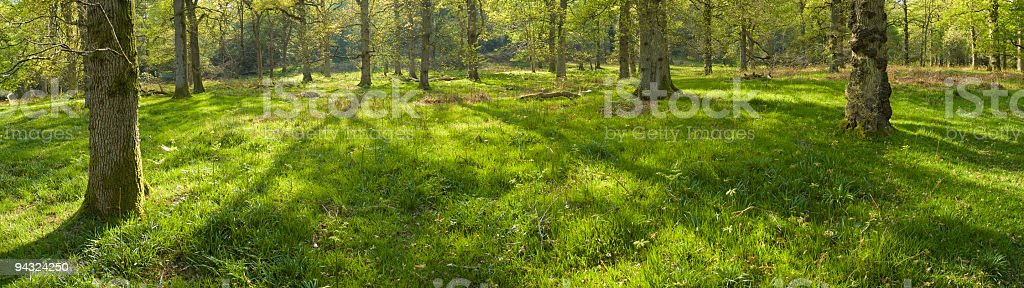 Long shadows in cool, green forest royalty-free stock photo