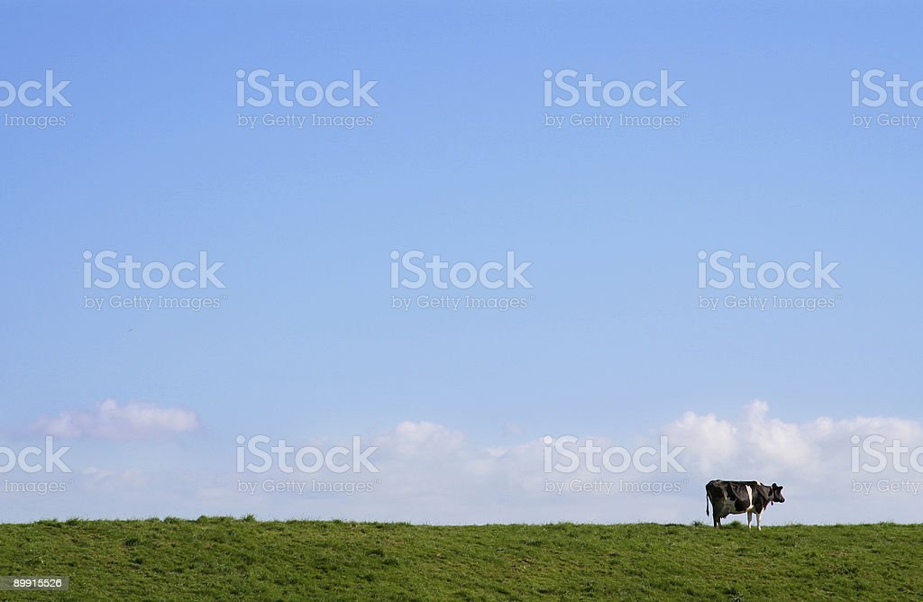 Long shot of a lone cow in a green pasture with blue sky royalty-free stock photo