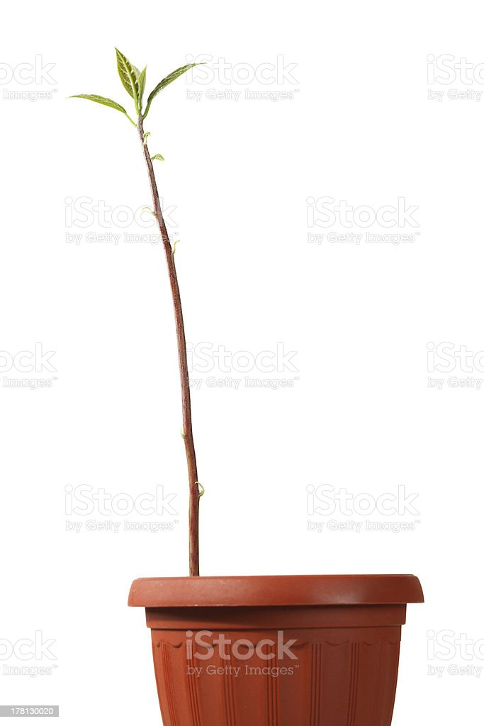 Long sprout in red pot royalty-free stock photo