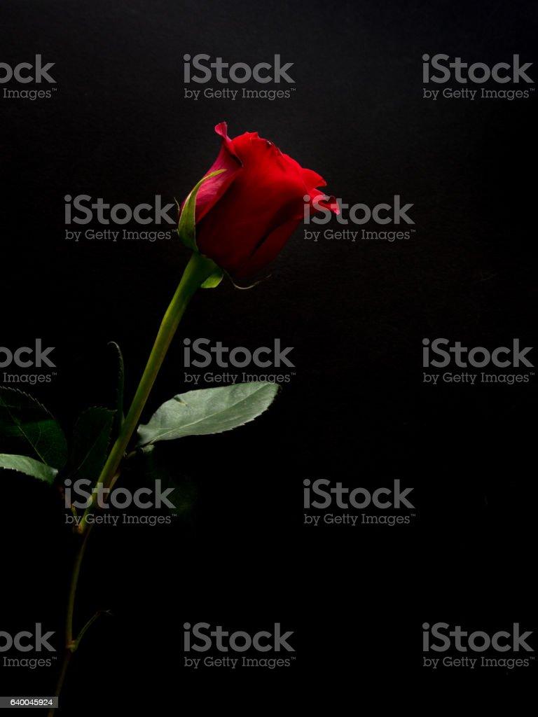 Long stem red rose on black background stock photo