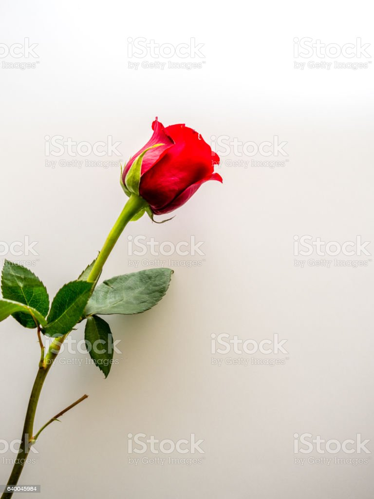 Long stem red rose on white background stock photo
