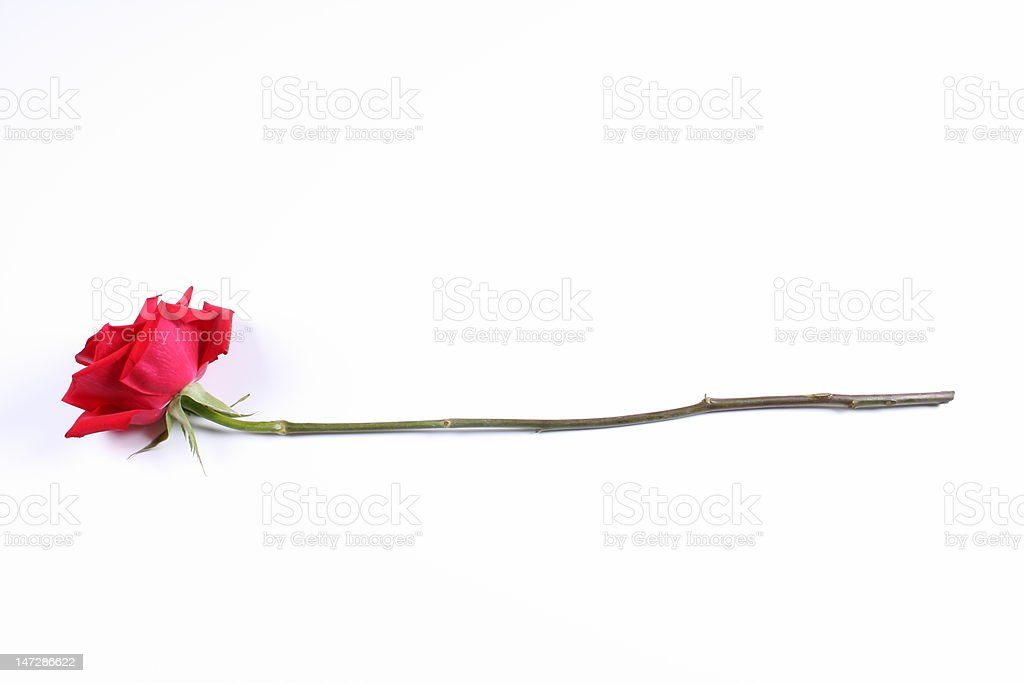 Long Stem Red Rose stock photo