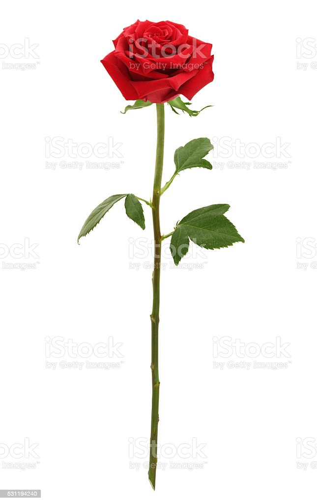 Long Stem Red Rose (with path) stock photo
