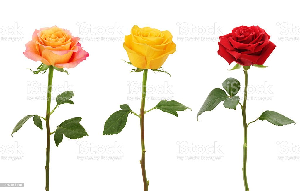Long Stem Roses (XXXL with path) stock photo