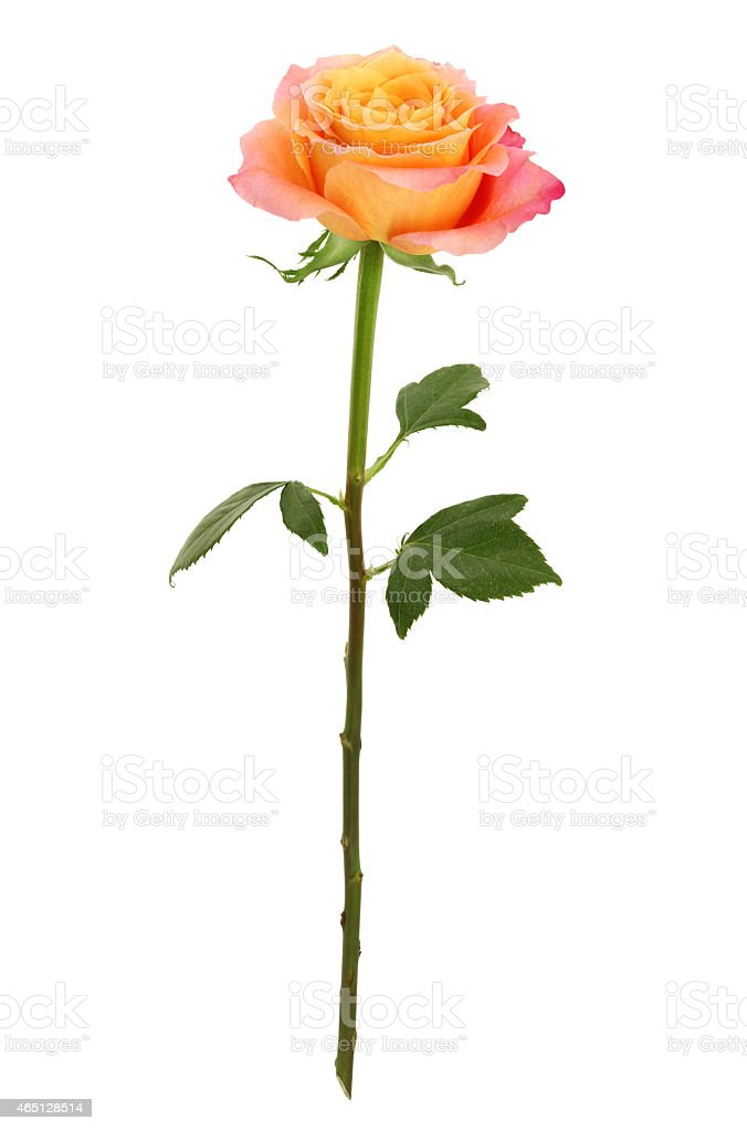 Long Stem Yellow and Pink Rose (with path) stock photo