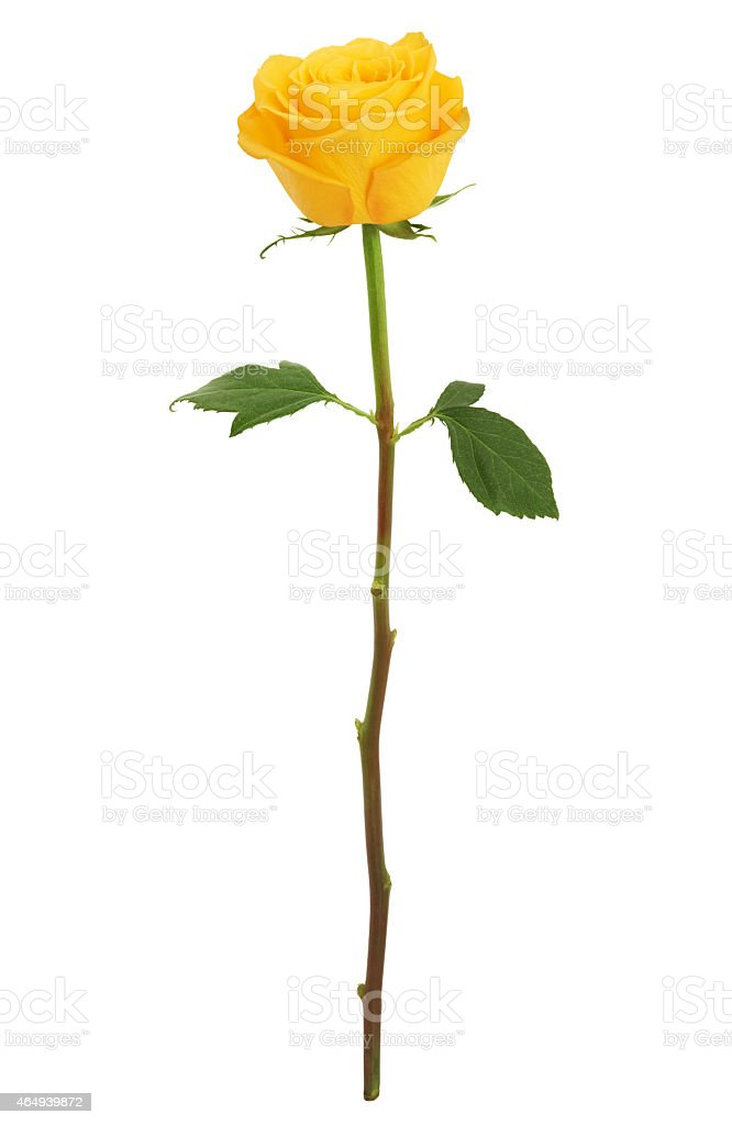 Long Stem Yellow Rose XXXL (with path) stock photo