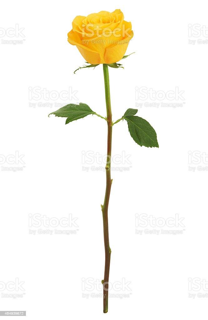 Long Stem Yellow Rose XXXL (with path) stock photo
