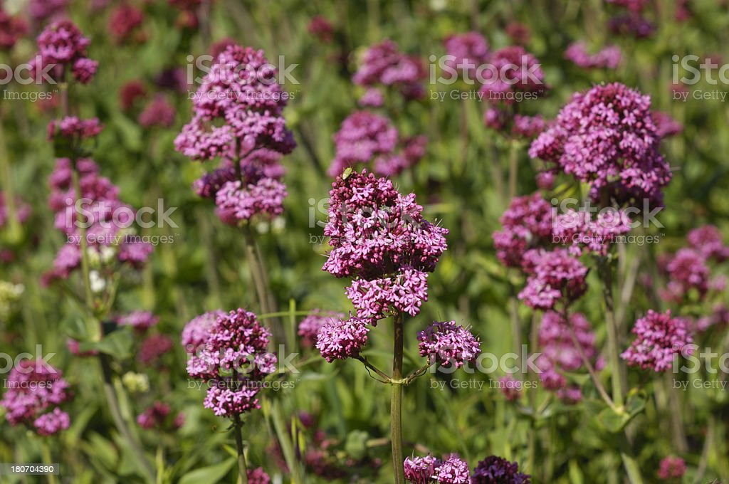 Long Stemmed Redish Wildflowers royalty-free stock photo