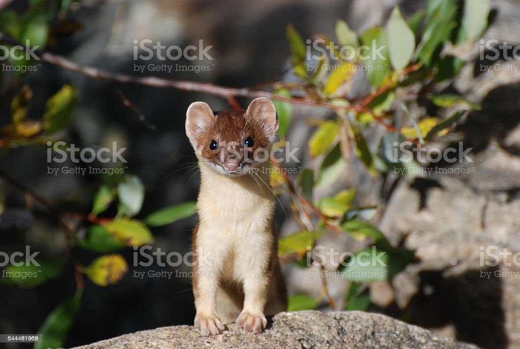 Long Tail Weasel stock photo