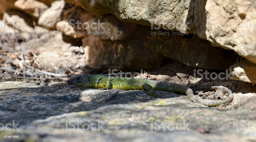 Long tailed green lizard on stones stock photo