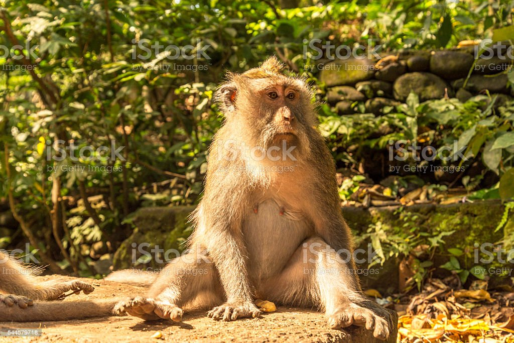 Long tailed macaque in the Monkey Forest stock photo