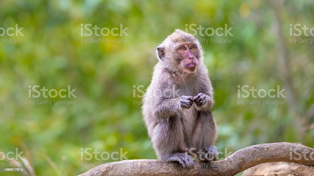 long tailed macaque stock photo