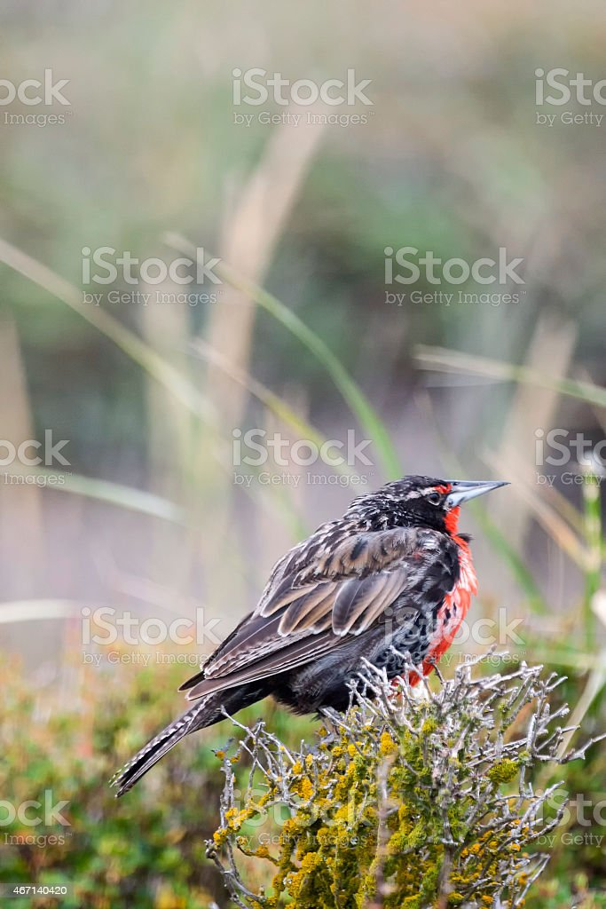 Long tailed meadowlark on flower stock photo