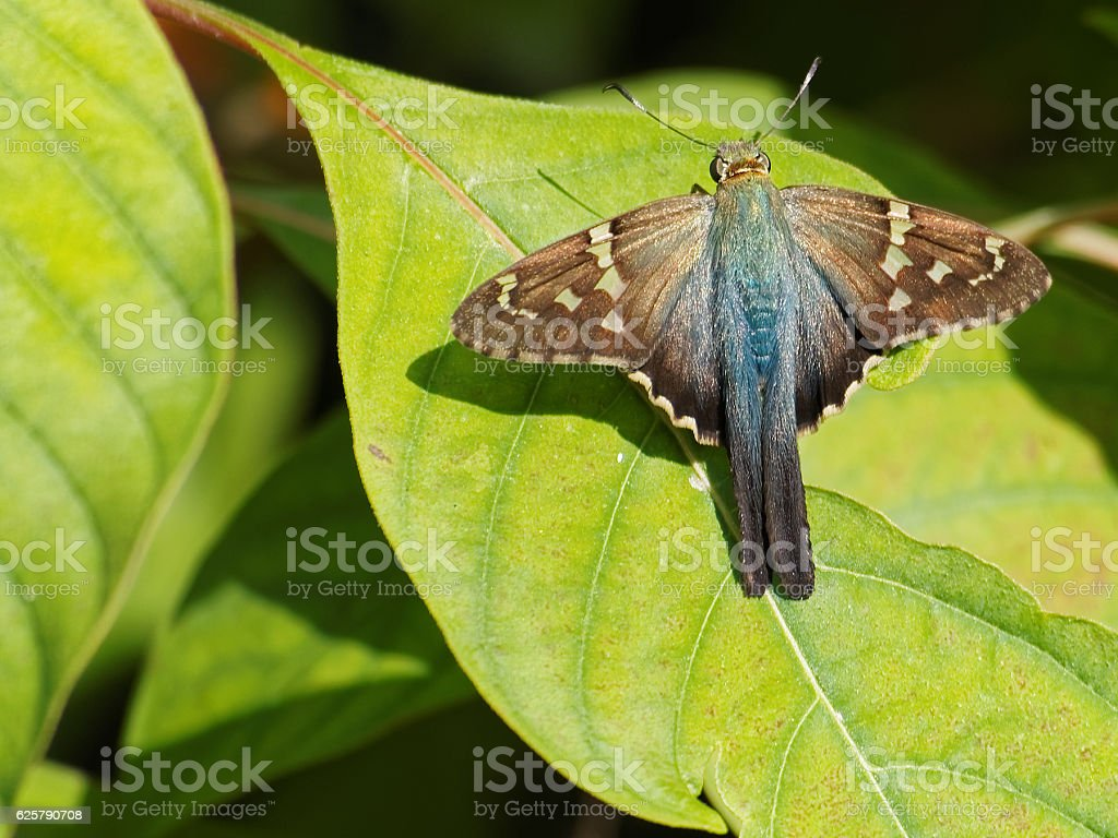 Long Tailed Skipper Butterly Wings Open on Green Leaf stock photo