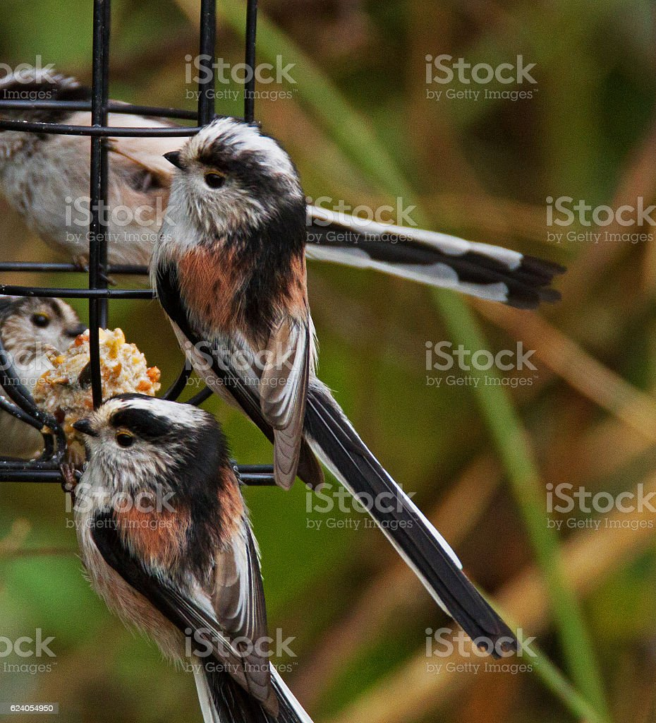 Long tailed Tits. stock photo