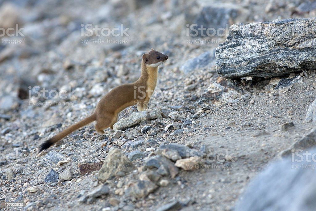 Long Tailed Weasel in Rocky Mountain National Park Colorado stock photo