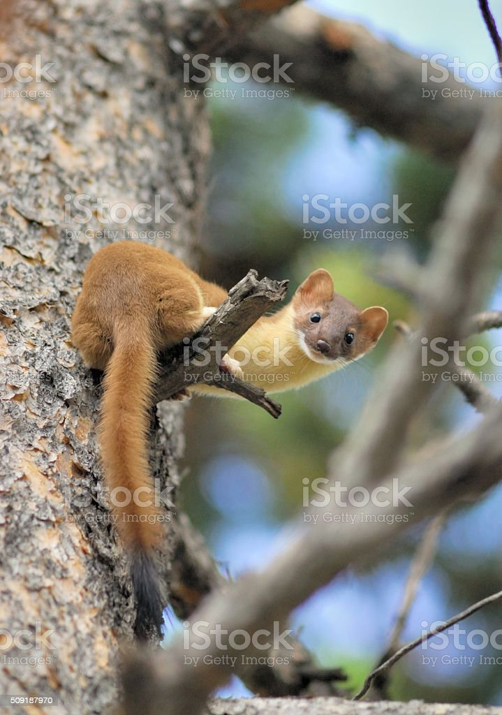 Long Tailed Weasel stock photo