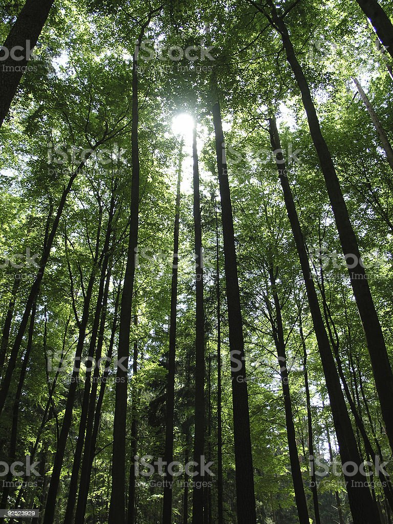 Long trees and the sunlight on deep dark forest stock photo