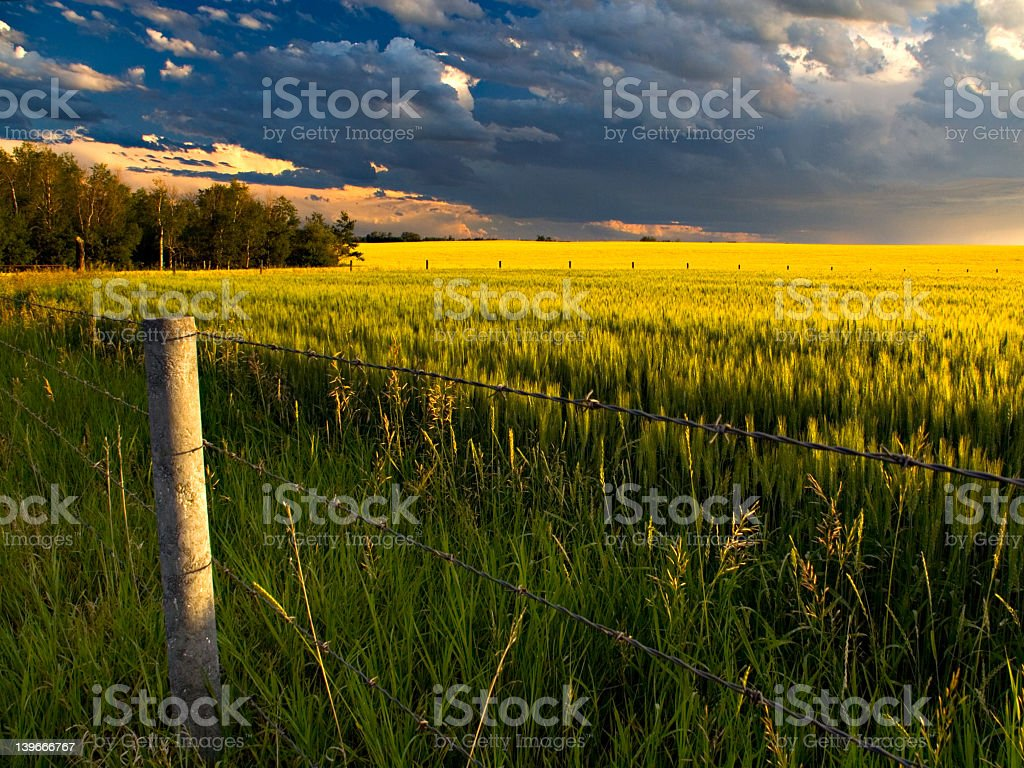 Long view of a canola field under storm clouds stock photo