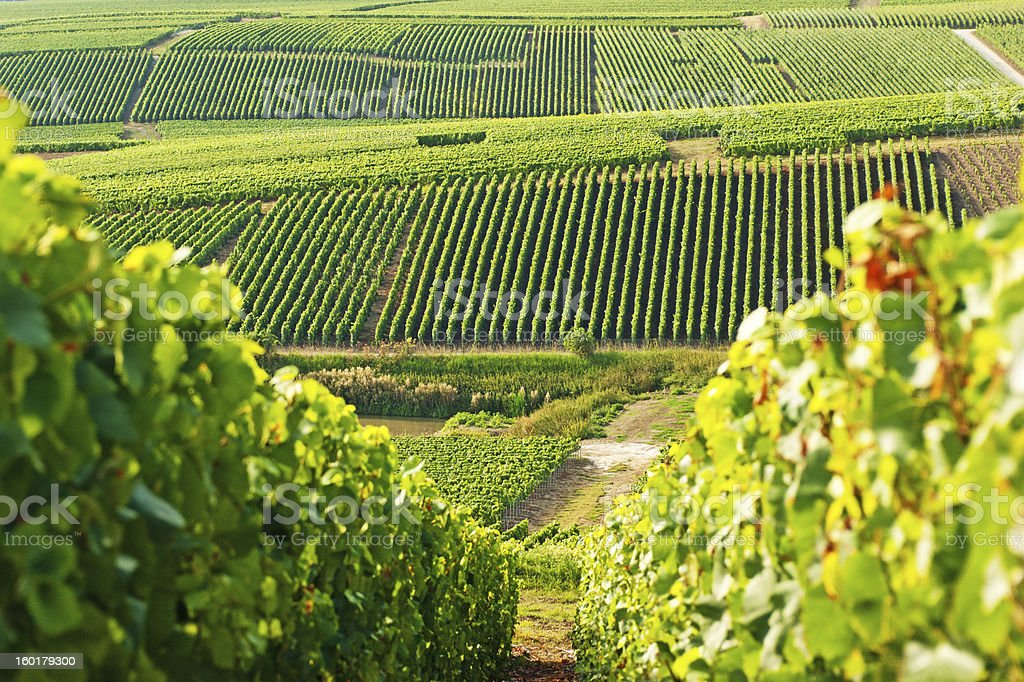 Long view of grape vineyards in Cramant stock photo