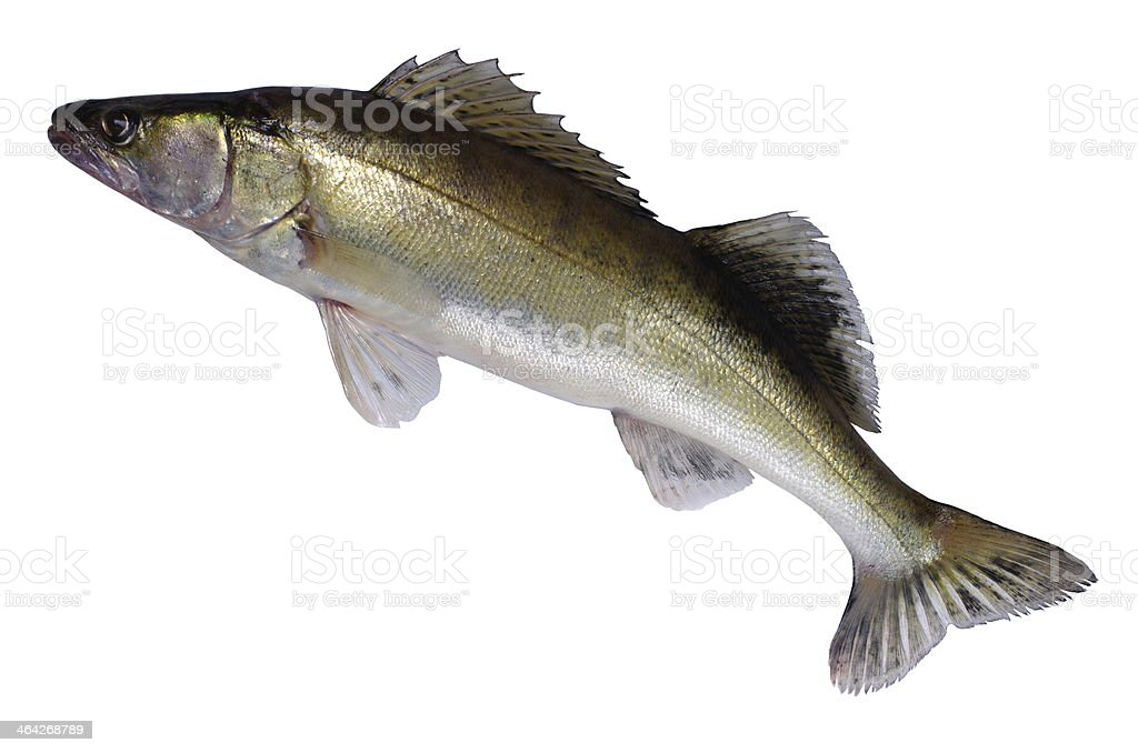 long zander stock photo