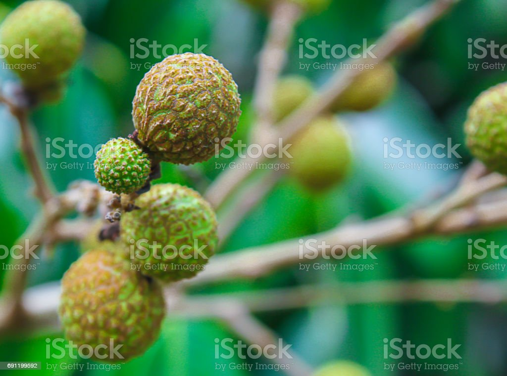 Longan fruit on the tree in the garden, Chiangmai, Thailand stock photo