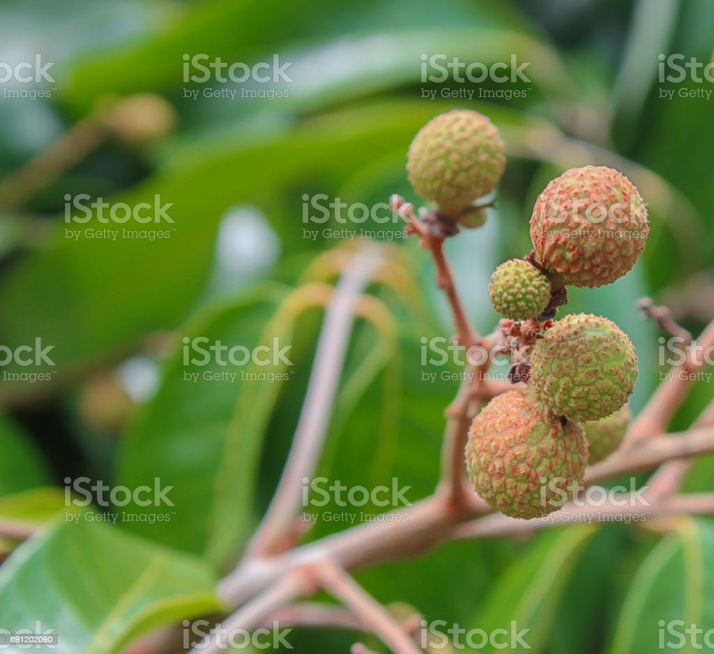 Longan fruit on tree in Chiang Mai Thailand stock photo