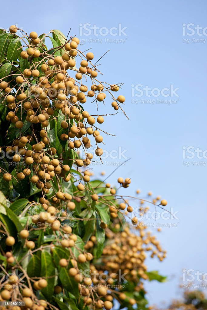 Longans growing in a Thai orchard. royalty-free stock photo