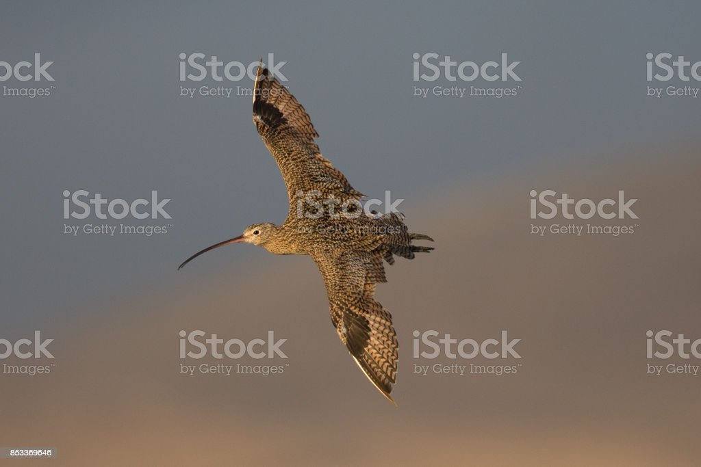 Long-billed curlew flying over a North California marsh stock photo