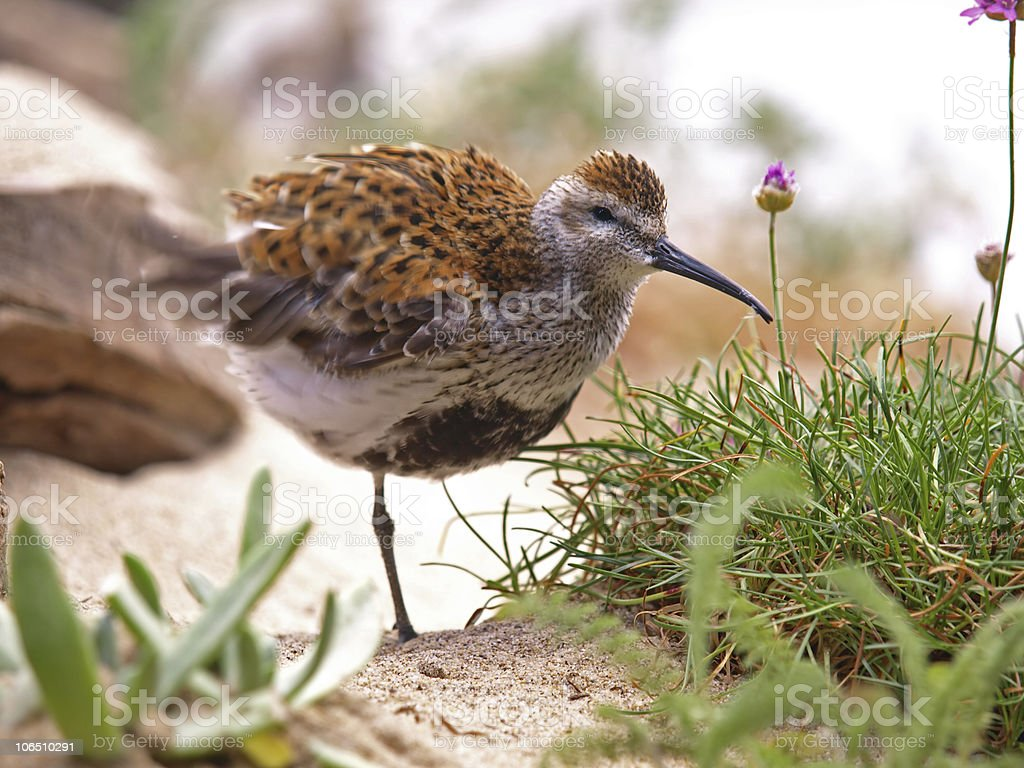 Long-Billed Curlew stock photo