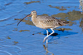 Long-billed Curlew with Foot Up