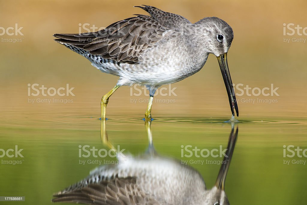 Long-billed Dowitcher (Limnodromus scolopaceus) with Tiny Prey royalty-free stock photo