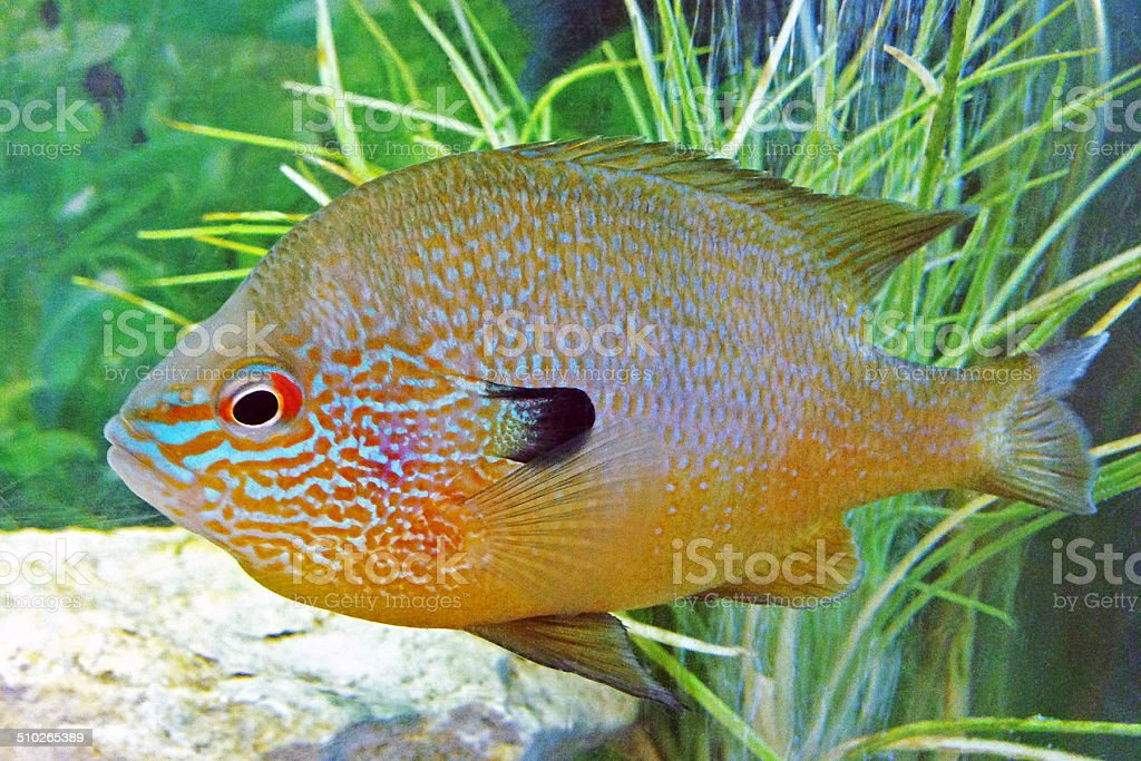 longear sunfish Lepomis megalotis stock photo