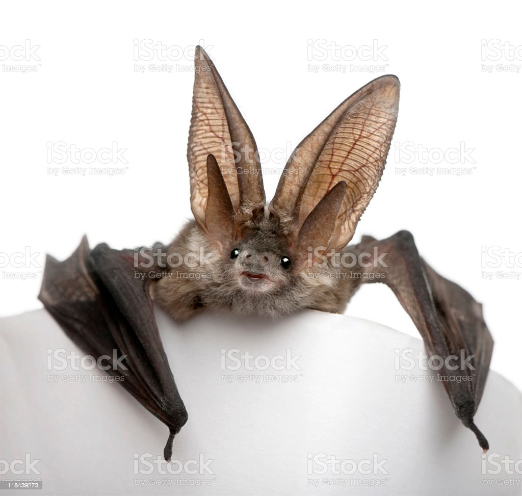 Long-eared gray bat on white platform with white background stock photo