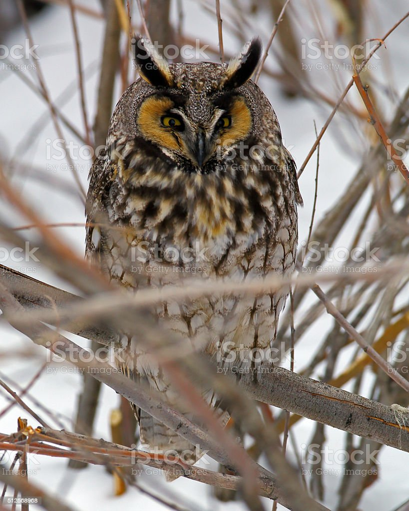 Long-eared Owl In Tree In Winter stock photo