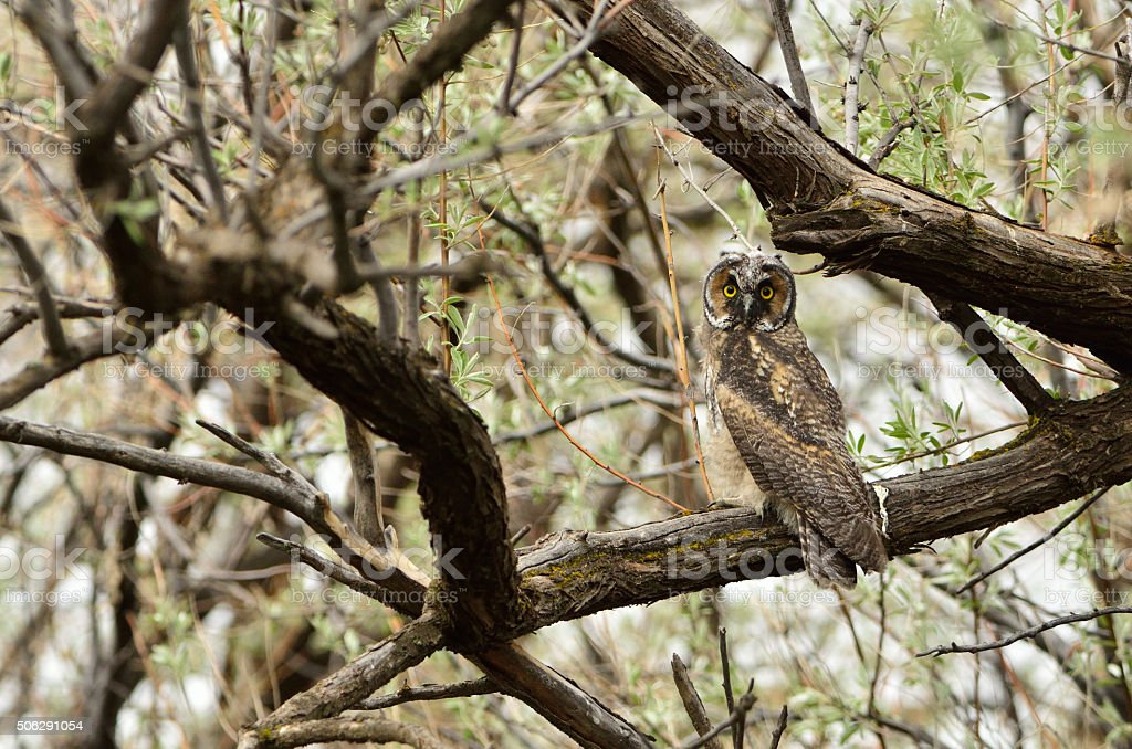 Long-eared Owl looking over its Shoulder stock photo
