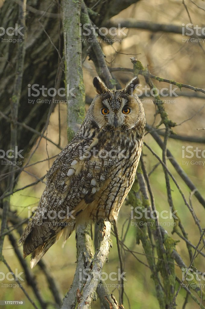 Long-eared Owl (Asio otus) royalty-free stock photo