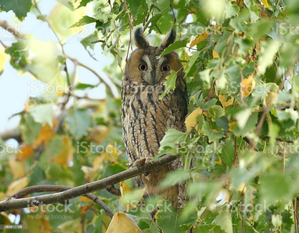 Long-eared owl (Asio otus, previously Strix otus) stock photo