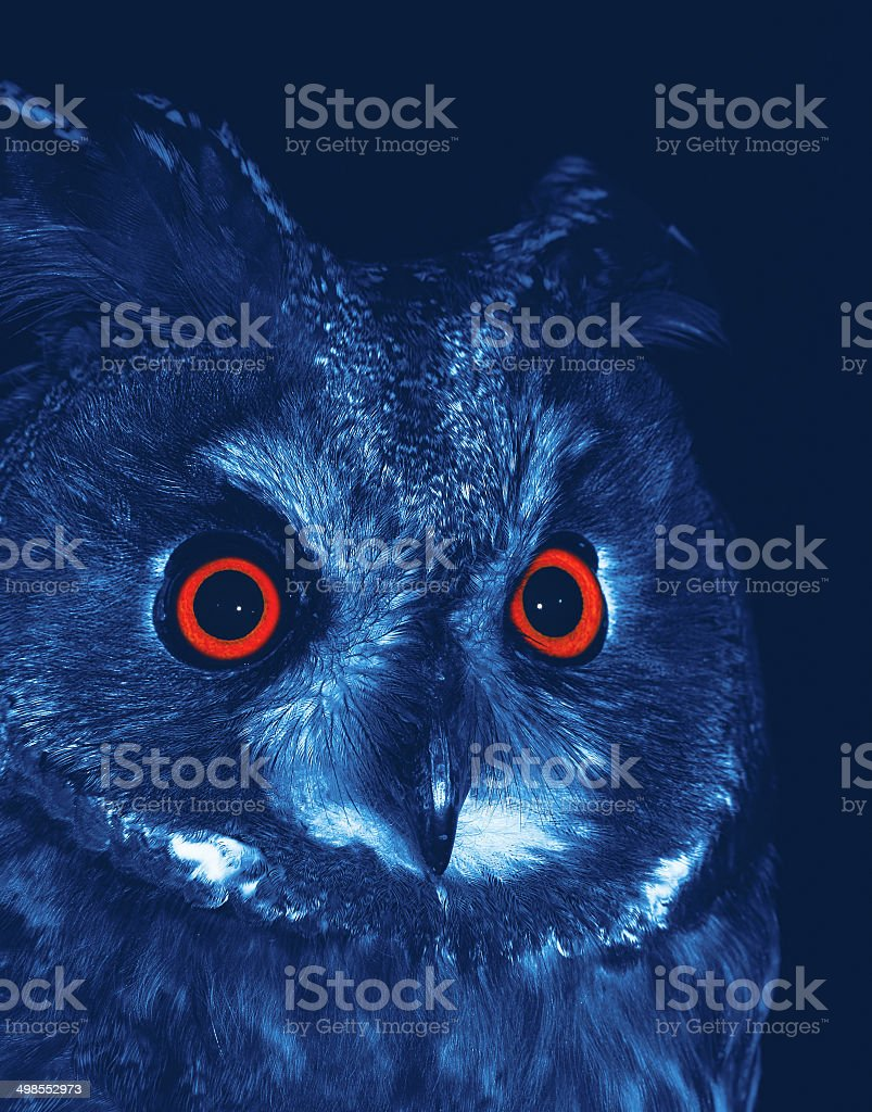 Long-eared Owl royalty-free stock photo