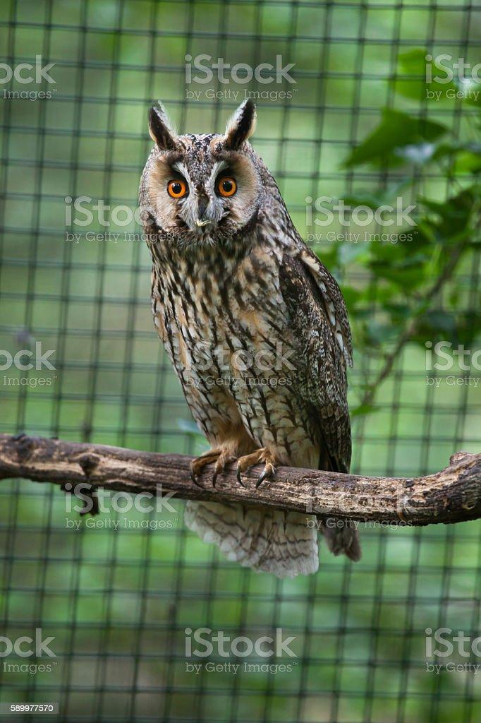 Long-eared owl (Asio otus). stock photo