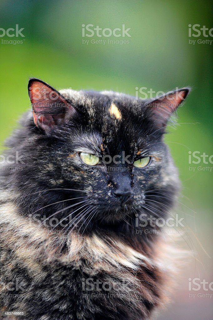 Longhair cat royalty-free stock photo