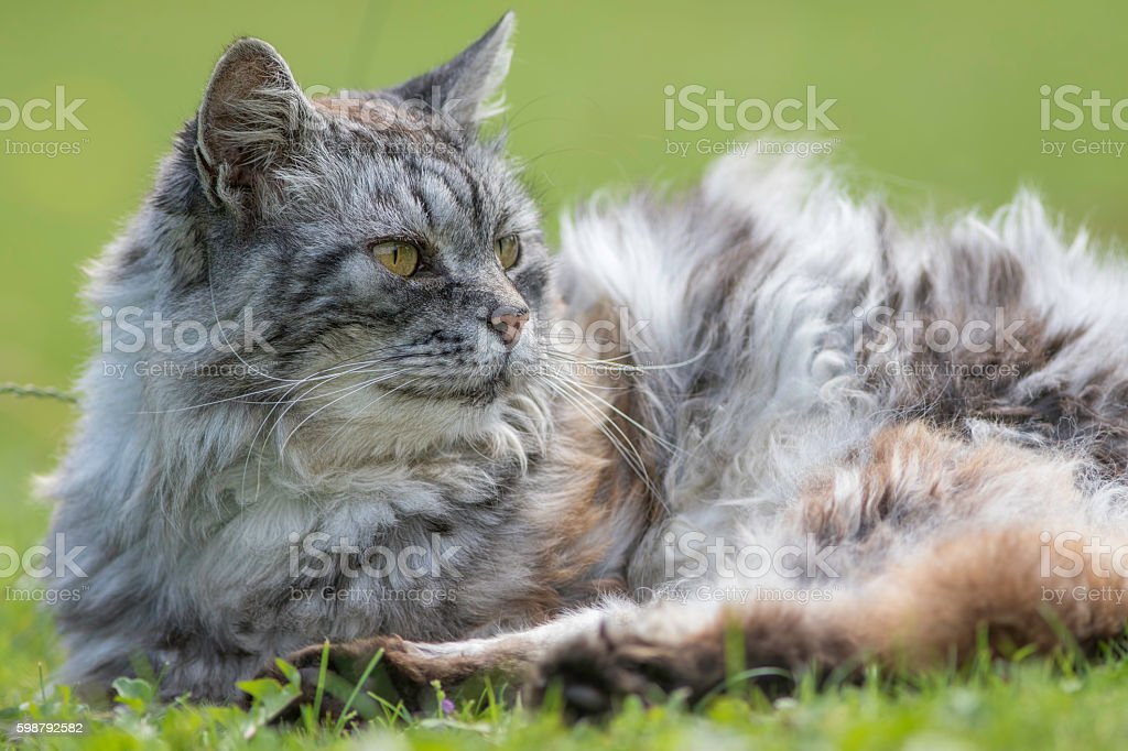 Long-haired cat laying on grass. stock photo