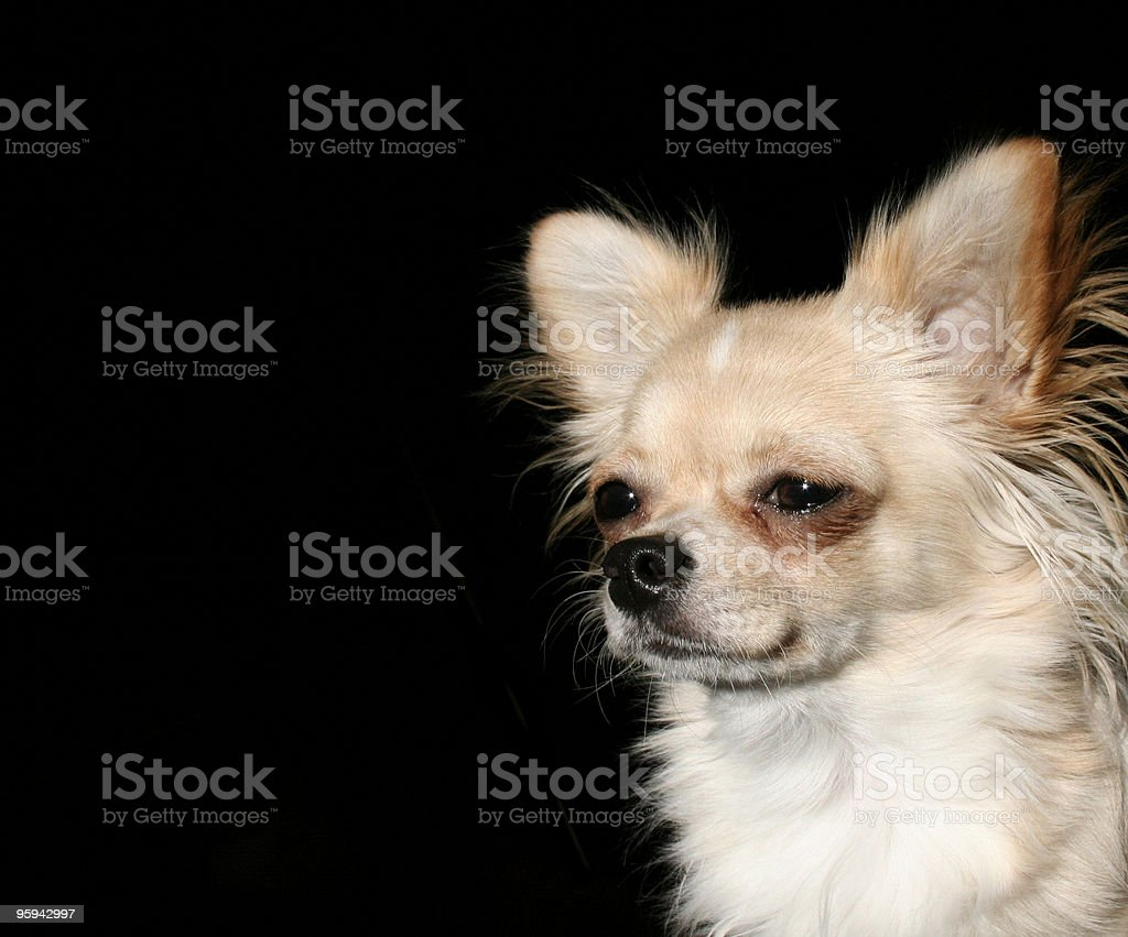 Longhaired Chihuahua Puppy royalty-free stock photo