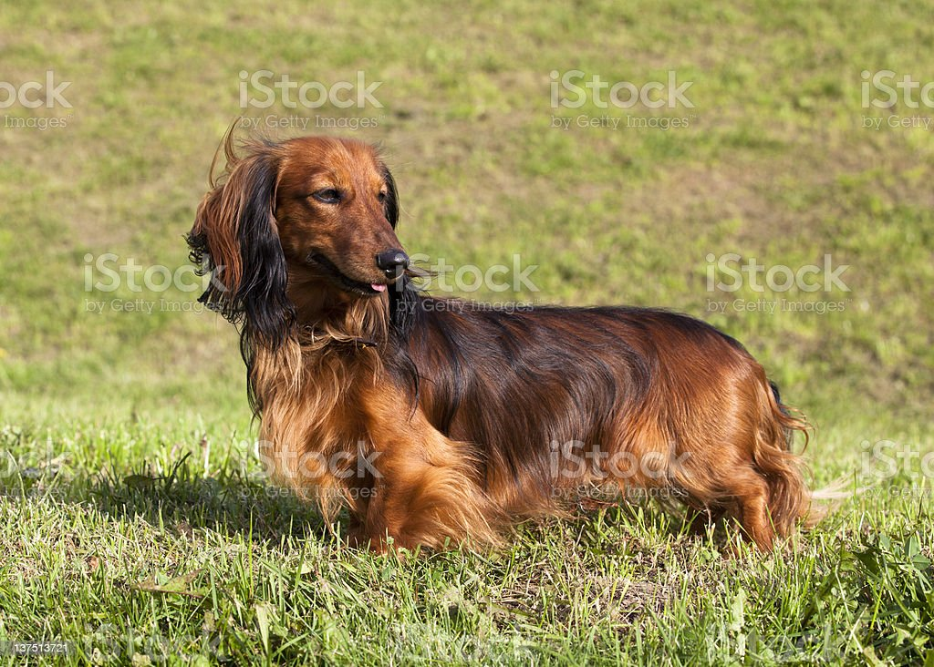 longhaired dachshund in an outdoor stock photo