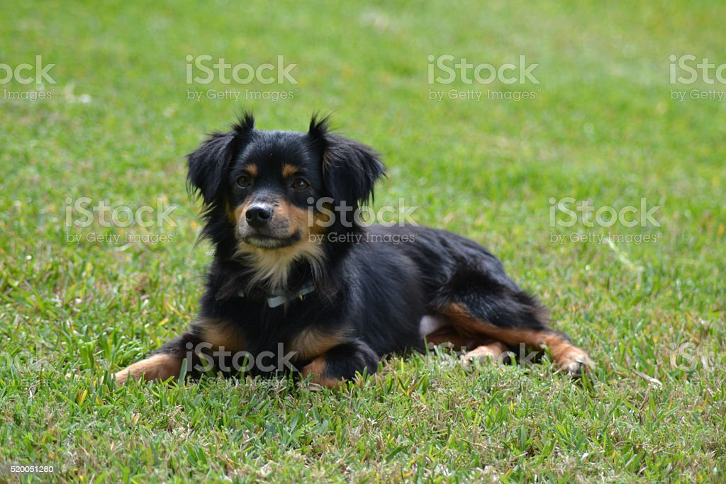 Long-haired dachshund in the grass stock photo