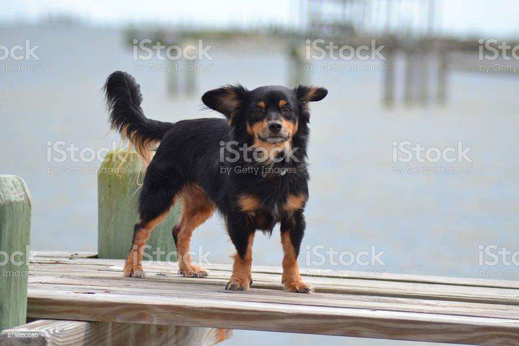 Long-haired dachshund on a pier stock photo